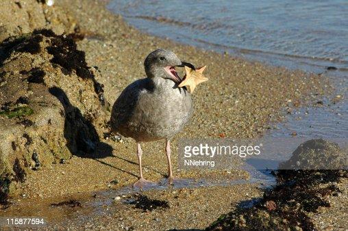 juvenile western gull, Larus occidentalis, eating bat star