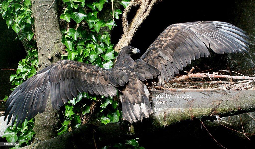 Juvenile White Tailed Sea Eagle Back on the Nest