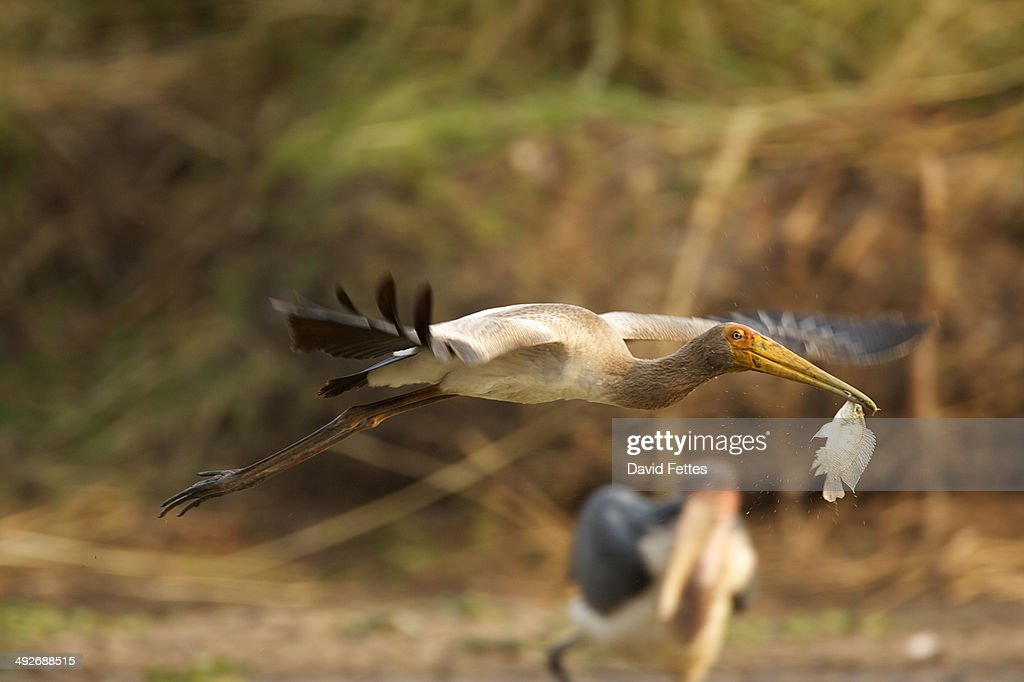Juvenile Yellow-billed stork - Mycteria ibis, Mana Pools National Park, Zimbabwe : Stock Photo