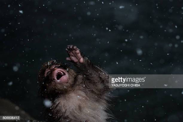 A juvinile Japanese wild monkey known as a 'snow monkey' tries to eat snowflakes in a hot spring at the Jigokudani Wild Monkey Park in Yamanouchi...