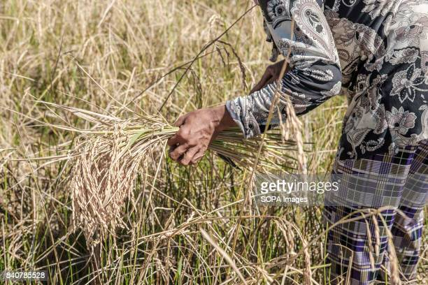 Kachock women work in the fields during the rice harvest The Kachock are an ethnic group that live on lands that run along the banks of the Sesan...