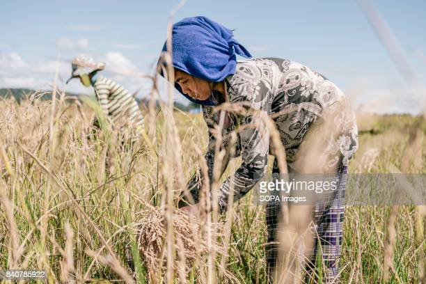 Kachock women works in the fields during the rice harvest The Kachock are an ethnic group that live on lands that run along the banks of the Sesan...