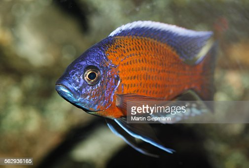 Kadango red fin hap copadichromis borleyi syn haplochromis Freshwater fish with red fins