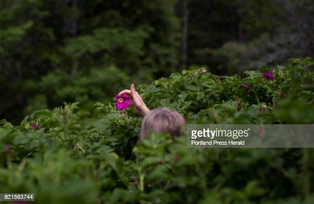 Kaela van Breevoort Reed carefully coaxes a bee from the rose as she harvests Rosa rugosa in the Avena Botanicals garden The roses are used in a...