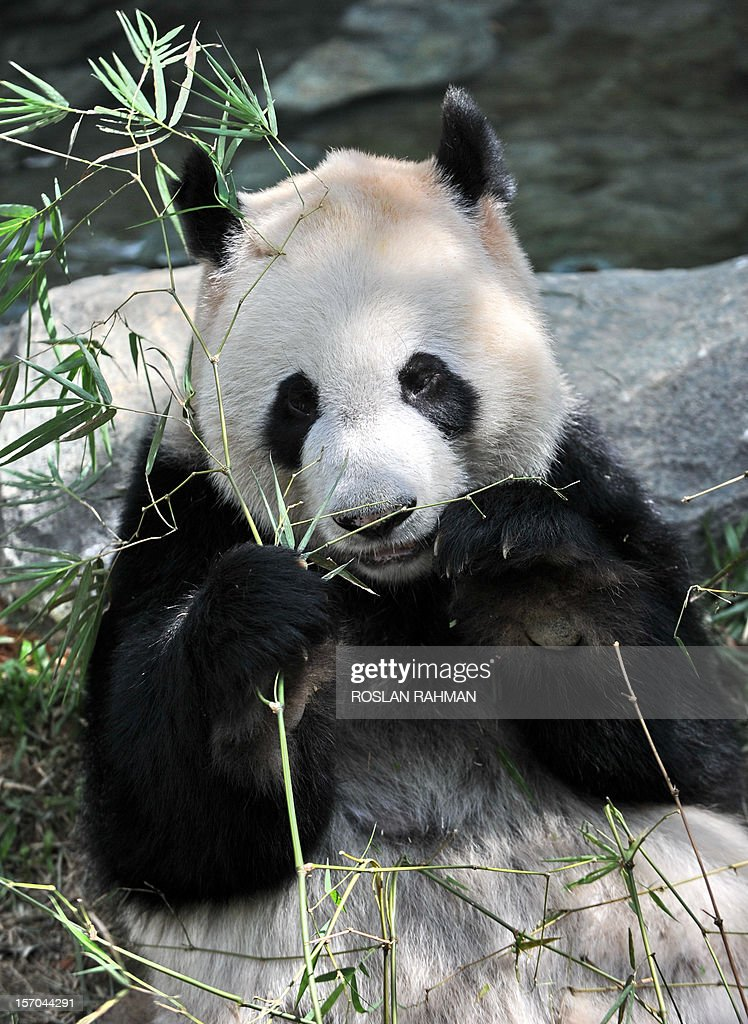 'Kai Kai', a panda from China, bites some bamboo leaves in its enclosure during the official opening at the River Safari park in Singapore on November 28, 2012. Two giant pandas, aged four and five-years old and on loan from China for 10 years to the Wildlife Reserve Singapore (WRS), will make their official public appearance on November 29.