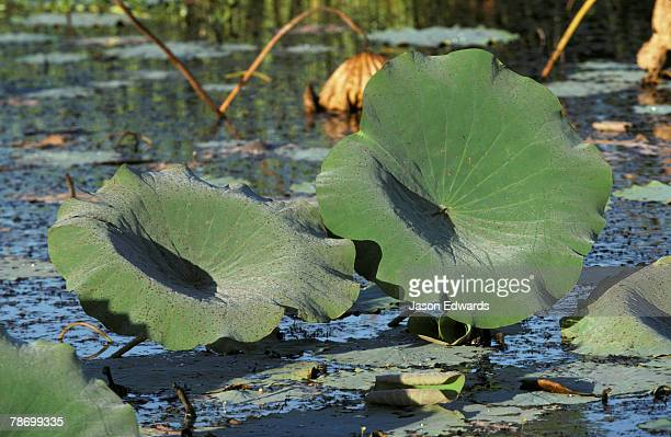 Huge Water Lily leaves turn to face the dawn on a wetland swamp.