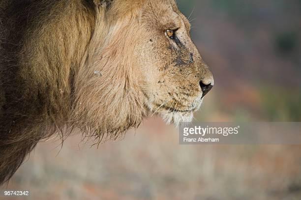 Kalahari black mane lion