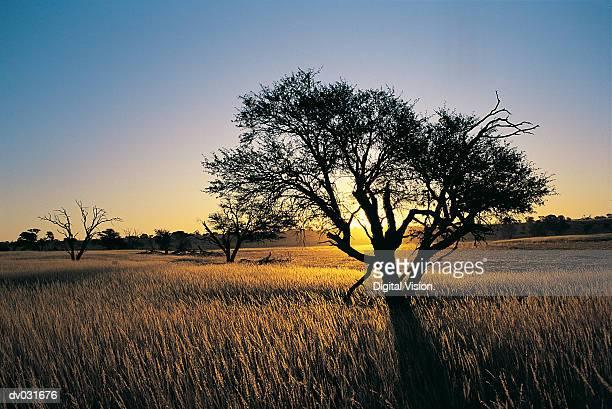 Kalahari landscape and Camelthorn in Veld at sunset, Kalahari Gemsbok National Park, South Africa