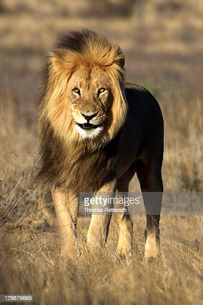 Kalahari lion