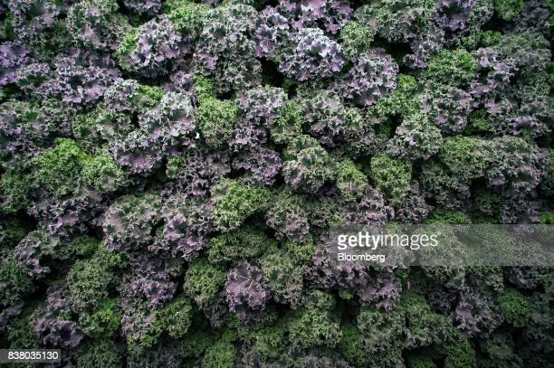 Kale and other greens grow vertically inside a modular farming unit at Modular Farms Co headquarters in Brampton Ontario Canada on Friday Aug 11 2017...