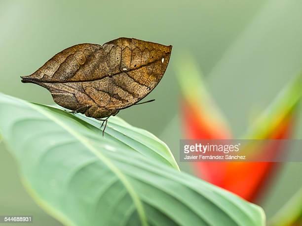 Kallima inachus, dead lead butterfly