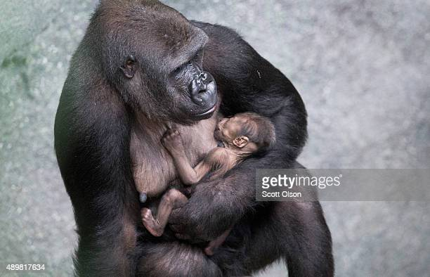 Kamba a western lowland gorilla holds her onedayold son Zachary at the Brookfield Zoo on September 24 2015 in Brookfield Illinois Zachary's birth...