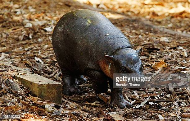 Kambiri a baby pygmy hippo calf explores her den at the Taronga Zoo on August 5 2010 in Sydney Australia The hippo calf is the first to be reared by...