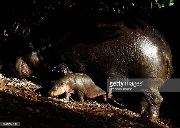 Kambiri a baby pygmy hippo calf explores her den with her mother Petre at the Taronga Zoo on August 5 2010 in Sydney Australia The hippo calf is the...