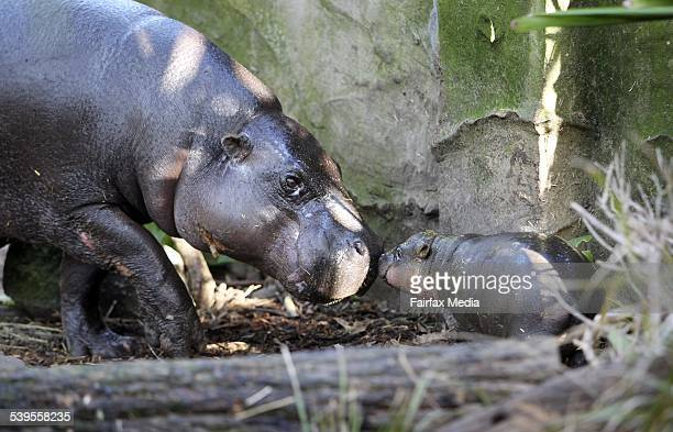 Kambiri a month old Baby Pygmy Hippo pictured with her mum Petre at Taronga Zoo in Sydney Kambiri is the first baby pygmy hippo to be reared by its...