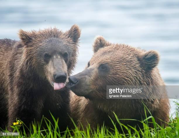 Kamchatka brown bear (Ursus arctos beringianus), Kuril Lake, Kamchatka