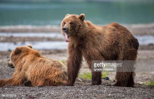 Kamchatka brown bear (Ursus arctos beringianus), Lake Kuril, Kamchatka Peninsula