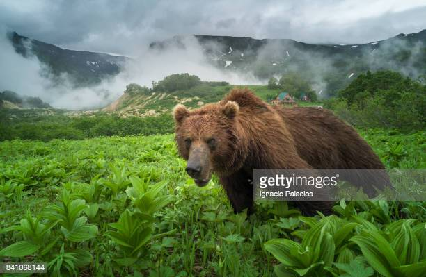Kamchatka brown bear (Ursus arctos beringianus), Valley of the Geysers, Kamchatka