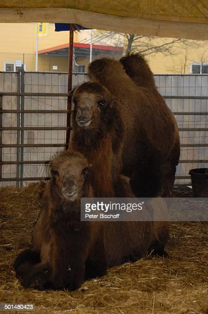 Kamele Außengelende vom 'Circus Belly' Bremen Deutschland Europa Tier Reise AS DIG PNr 320/2011 Foto PBischoff Jegliche FotoNutzung nur gegen Honorar...