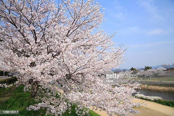 Kamo River and Cherry Blossoms, Kyoto, Kyoto, Japan