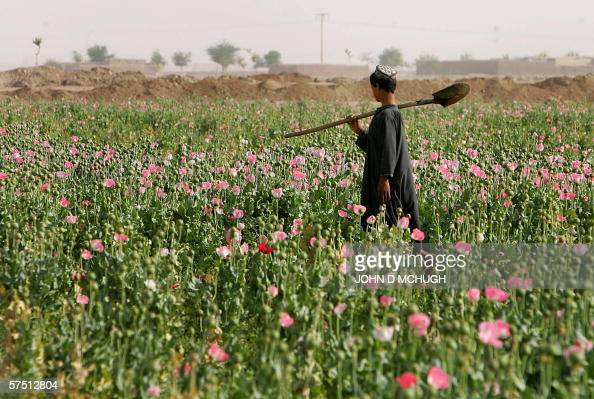 A boy works at a poppy field in the Panjwayi district of Kandahar 28 April 2006 Afghanistan is one of the world's biggest producers of drugs The...