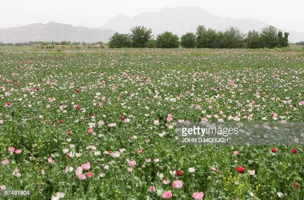 A general view of a poppy fields in the Panjwayi district of Kandahar 28 April 2006 Afghanistan is one of the world's biggest producers of drugs The...