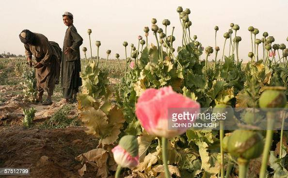 An Afghan man and a boy work at a poppy field in the Panjwayi district of Kandahar 28 April 2006 Afghanistan is one of the world's biggest producers...