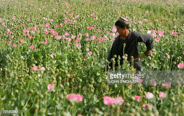FILES Picture taken 28 April 2006 shows an Afghan boy working at a poppy field in the Panjwayi district of Kandahar The importance of opium...