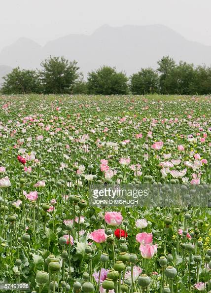 General view of a poppy field in the Panjwayi district of Kandahar 28 April 2006 Afghanistan is one of the world's biggest producers of drugs The...
