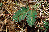 A leaves of Mimosa pudica a native of central and south America.