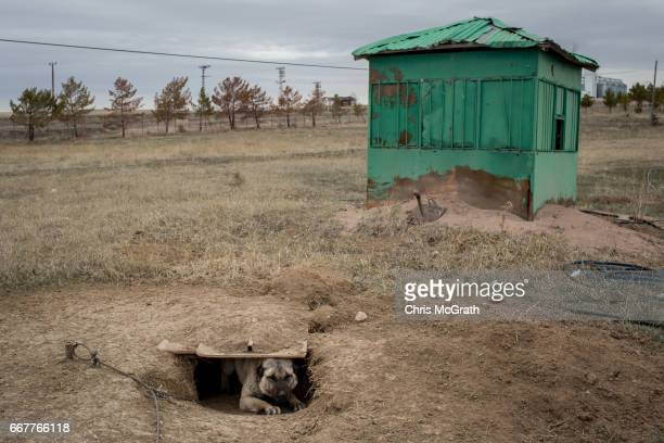 Kangal dog is seen emerging from a hole at a shelter specializing in the breed on April 12 2017 in Kangal Turkey Kangal is famous for Kangal dogs one...