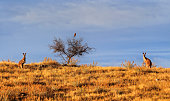 2 brown kangaroos and One bird of prey in Australian outback hiding in brown grass against blue sky under warm morning sun.
