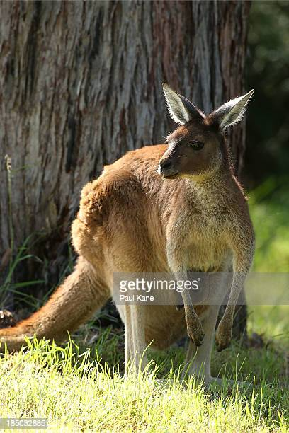 A kangaroo and it's joey sit in the rough on the 6th hole during day one of the Perth International at Lake Karrinyup Country Club on October 17 2013...