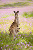 Joey in Kangaroo's pouch in the wild