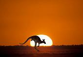 Kangaroo at sunset in outback Australia.