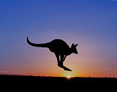Kangaroo in Victoria, Australia at sunset
