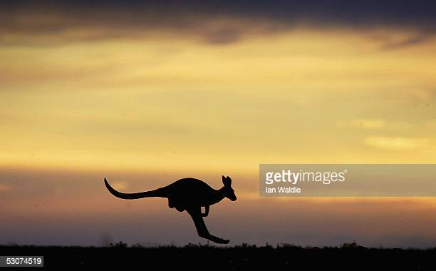 A kangaroo hops through the outback landscape June 7 2005 near Marree Australia