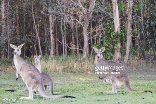 Kangaroo In Forest