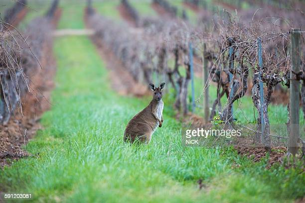 Kangaroo in the vineyard