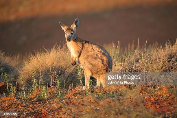 Kangaroo in the wild. Australia.