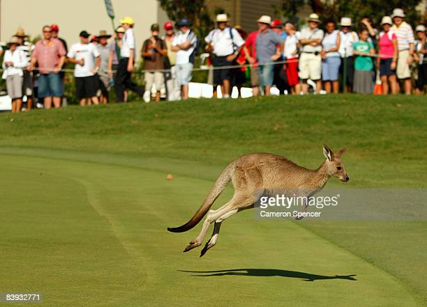 A kangaroo interupts play as it jumps across the 17th green during day three of the Australian PGA Championship at the Hyatt Regency Resort on...