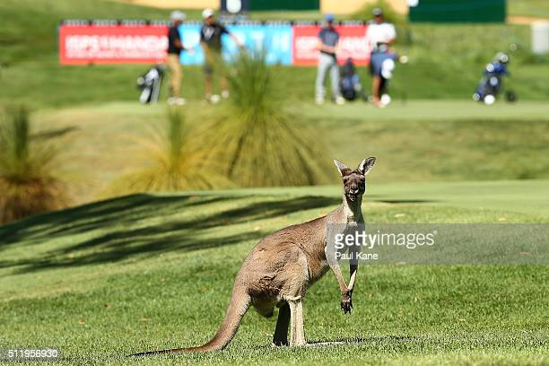 A kangaroo is seen on the 6th fairway as players prepare to tee off during the ProAm ahead of the 2016 Perth International at Lake Karrinyup Country...
