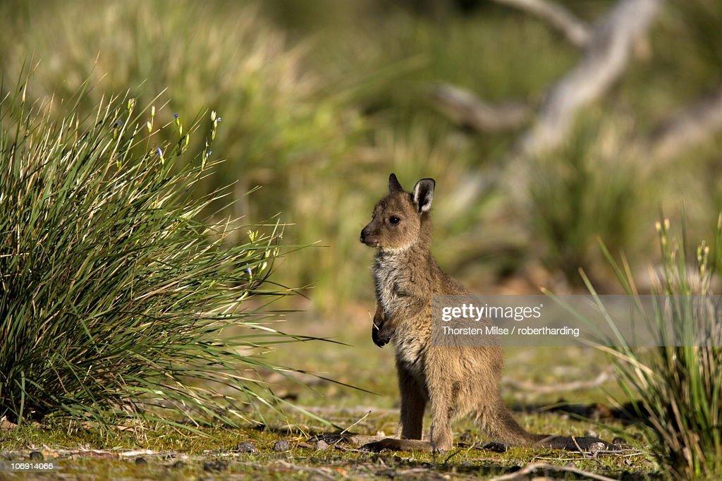 Kangaroo Island grey kangaroo (Macropus fuliginosus), Flinders Chase National Park, Kangaroo Island, South Australia, Australia, Pacific