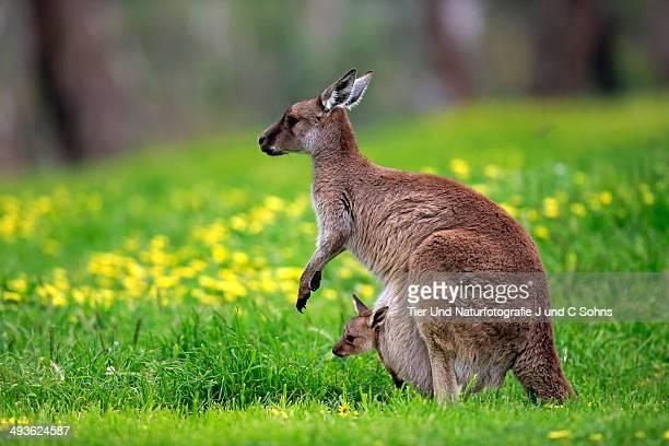 Kangaroo Island Kangaroo (Macropus fuliginosus)