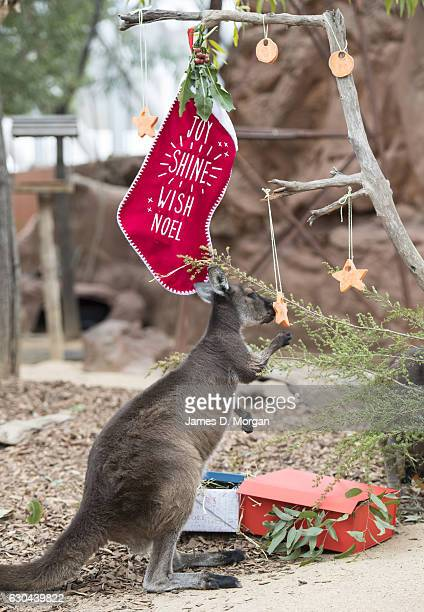 Kangaroo joey called Dot enjoying some Christmas treats at Wild Life Sydney Zoo on December 23 2016 in Sydney Australia Together with the Quokka and...
