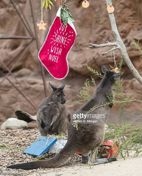 Kangaroo joeys Dot and Matilda enjoying some Christmas treats at Wild Life Sydney Zoo on December 23 2016 in Sydney Australia Together with the...