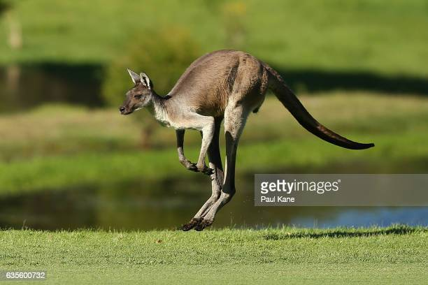 A kangaroo jumps down the 3rd fairway during round one of the ISPS HANDA World Super 6 at Lake Karrinyup Country Club on February 16 2017 in Perth...