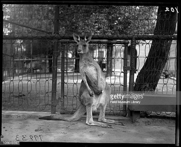 Kangaroo Lincoln Park Zoo Chicago Illinois 1900