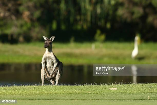 A kangaroo looks on from the side of the 3rd fairway during round one of the ISPS HANDA World Super 6 at Lake Karrinyup Country Club on February 16...