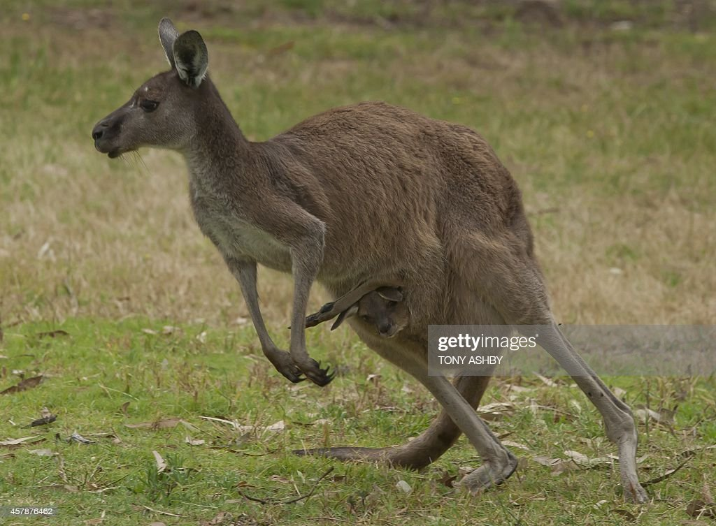 A kangaroo mother with a baby in her pouch waits for play to resume at the second tee in front of golfers preparing to drive during the final day of...